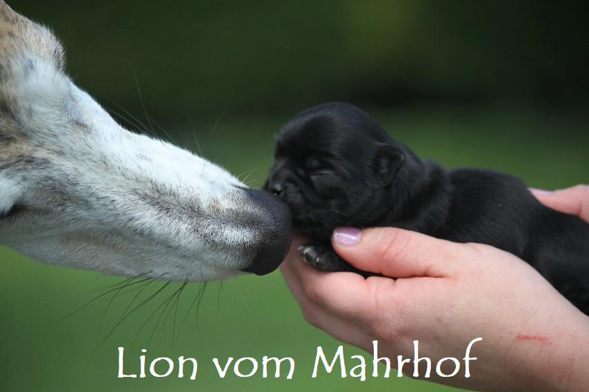 Lion___2688__4_.jpg