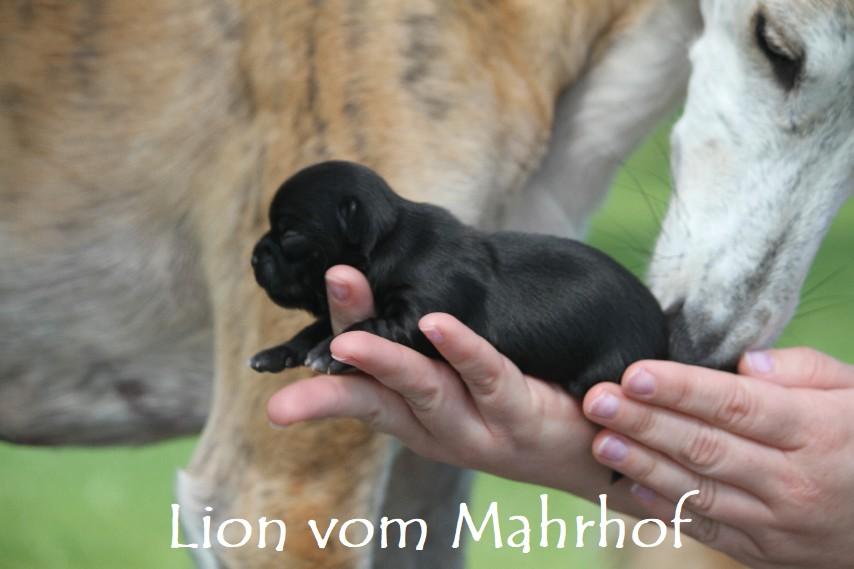 Lion___2688__5_.jpg