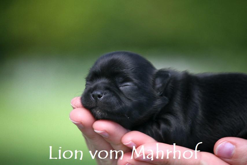 Lion___2705__10_.jpg