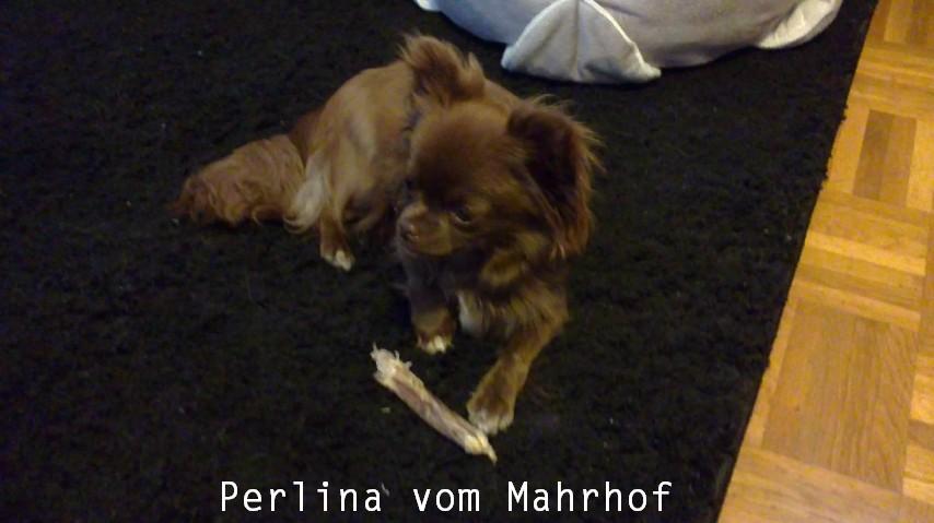 Perlina_vom_Mahrhof.jpg