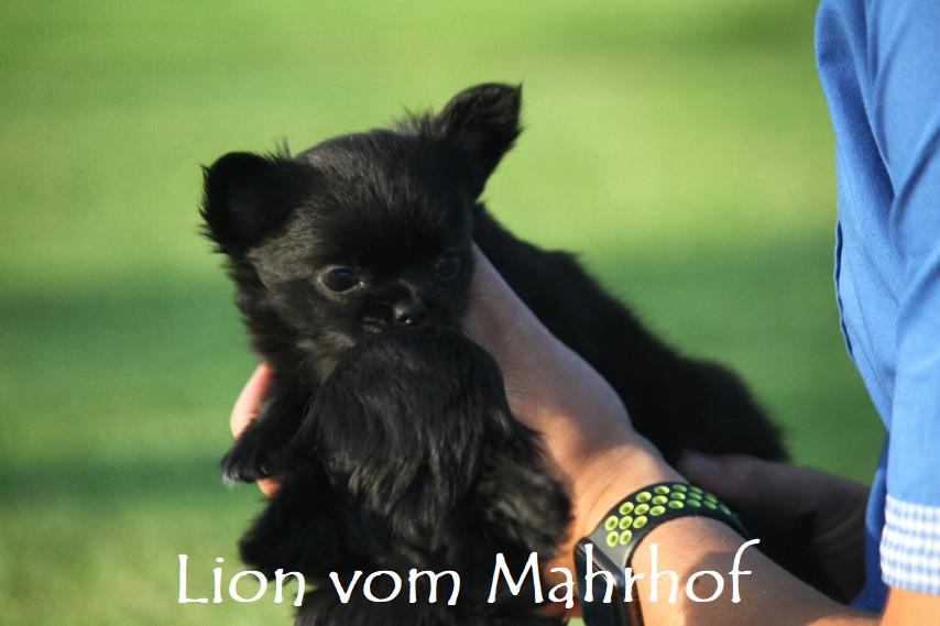 lion-----_4563__6_.jpg