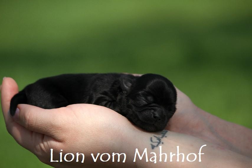 lion_2593.jpg