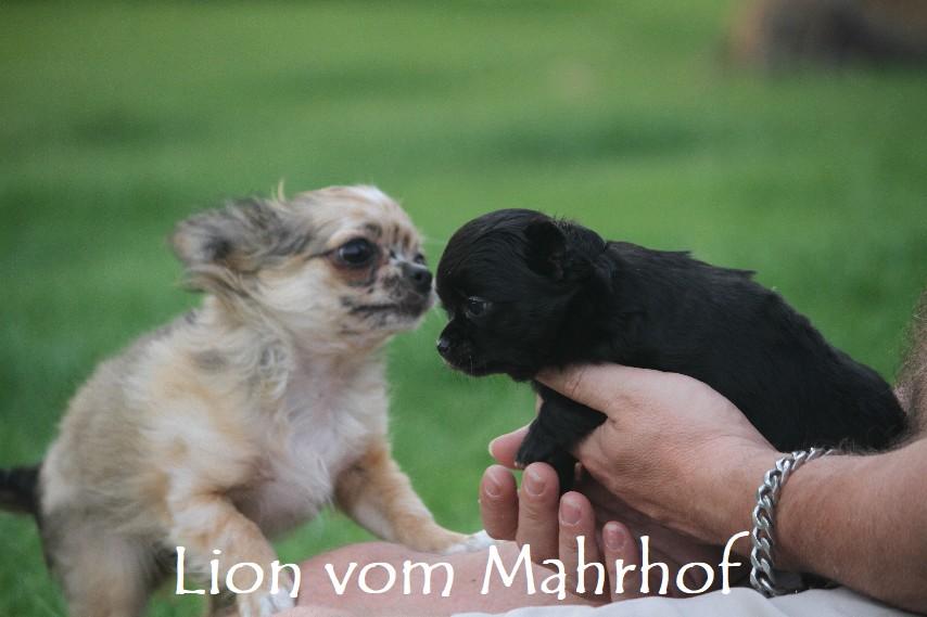 lion_4266.jpg