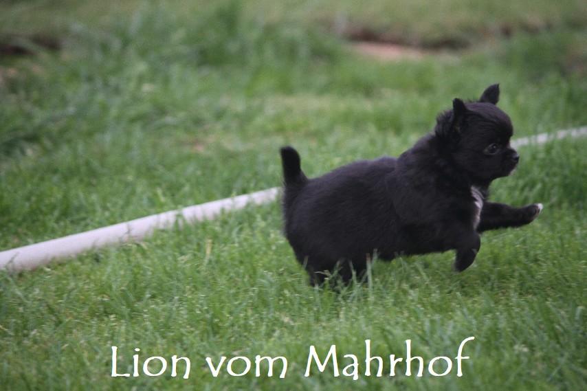 lion_4304.jpg