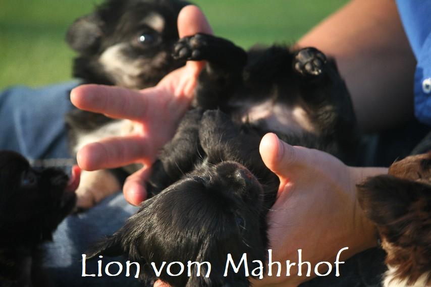lion_4536__1_.jpg