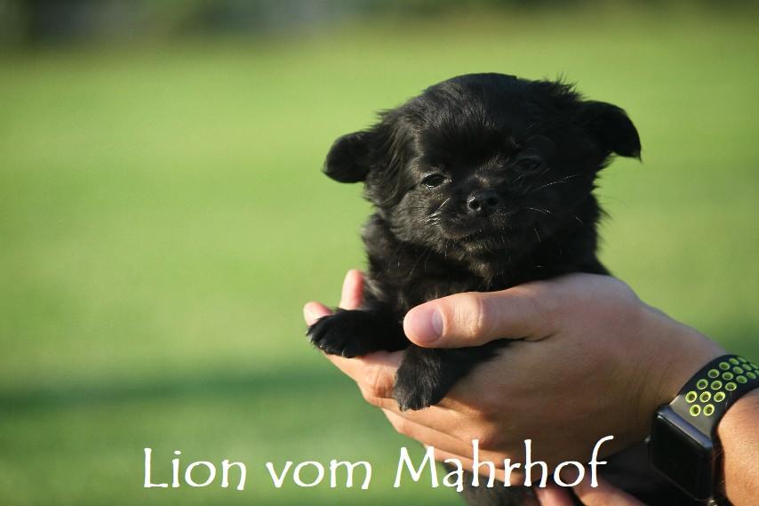 lion_4536__2_.jpg
