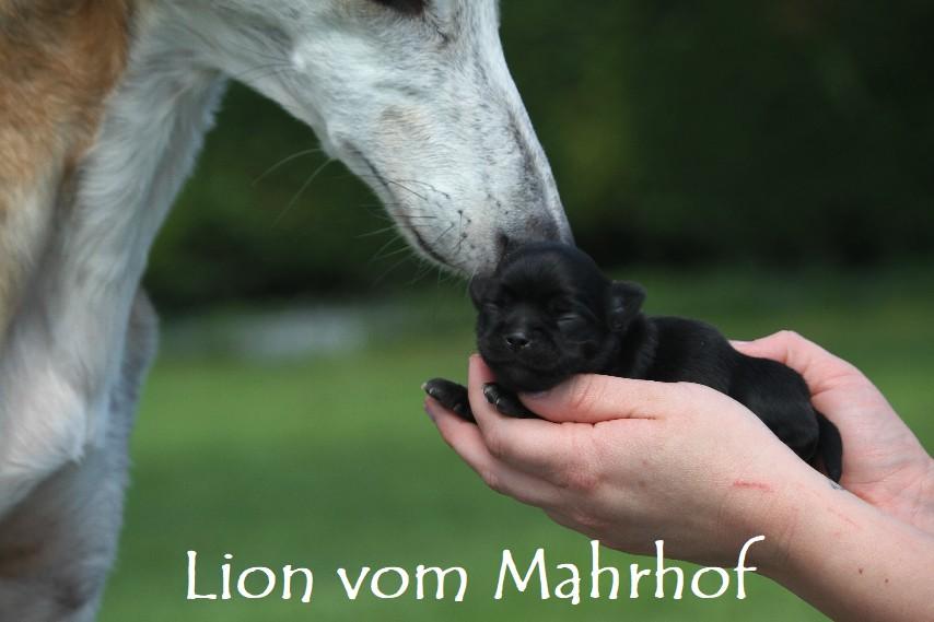 lion__3_.jpg